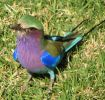violet-breasted-roller-bird-thumb-425x401.jpg