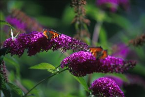 butterfly_bush_2_screen.jpg