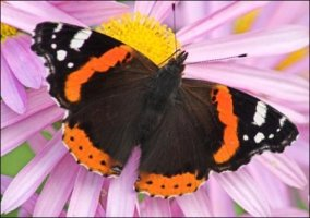 red_admiral.jpg